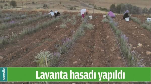 Lavanta hasadı yapıldı